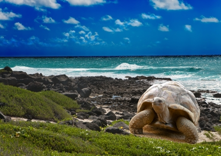 13718111 - large turtle  at the sea edge on background of a tropical landscape